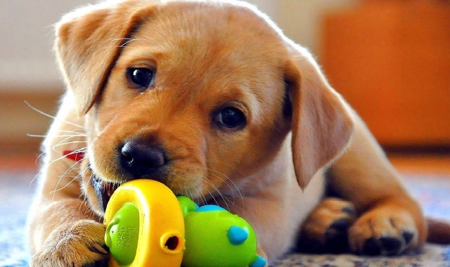 Provide Toys for Rescued Dogs